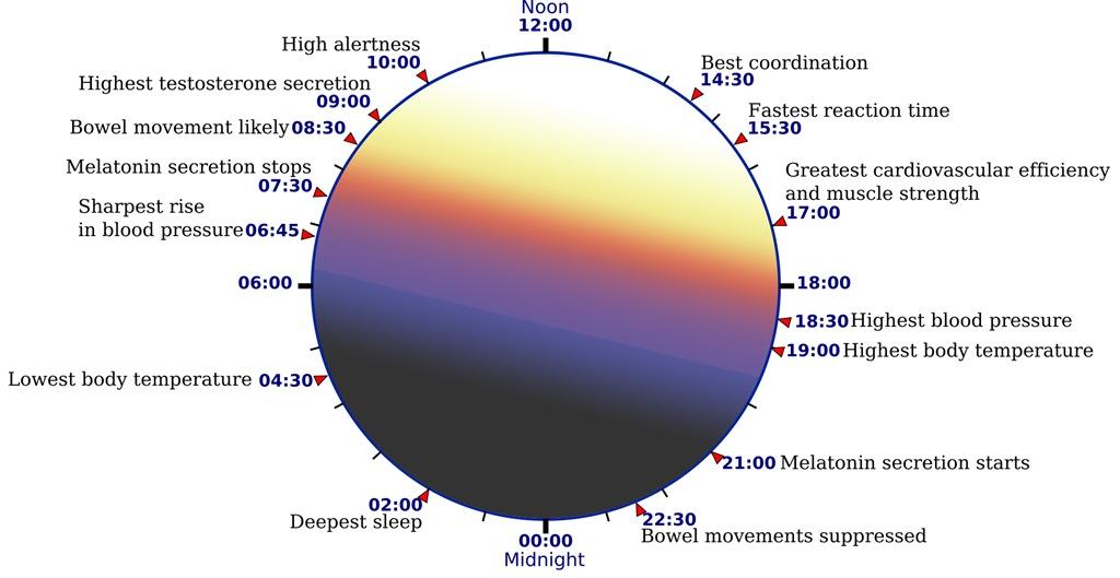 essay circadian rhythm and sleep